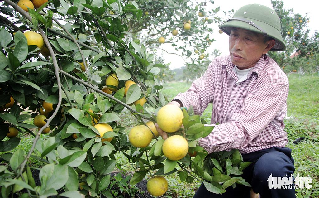 Nghệ An sẽ dán logo cho cam Vinh xịn - Ảnh 1.