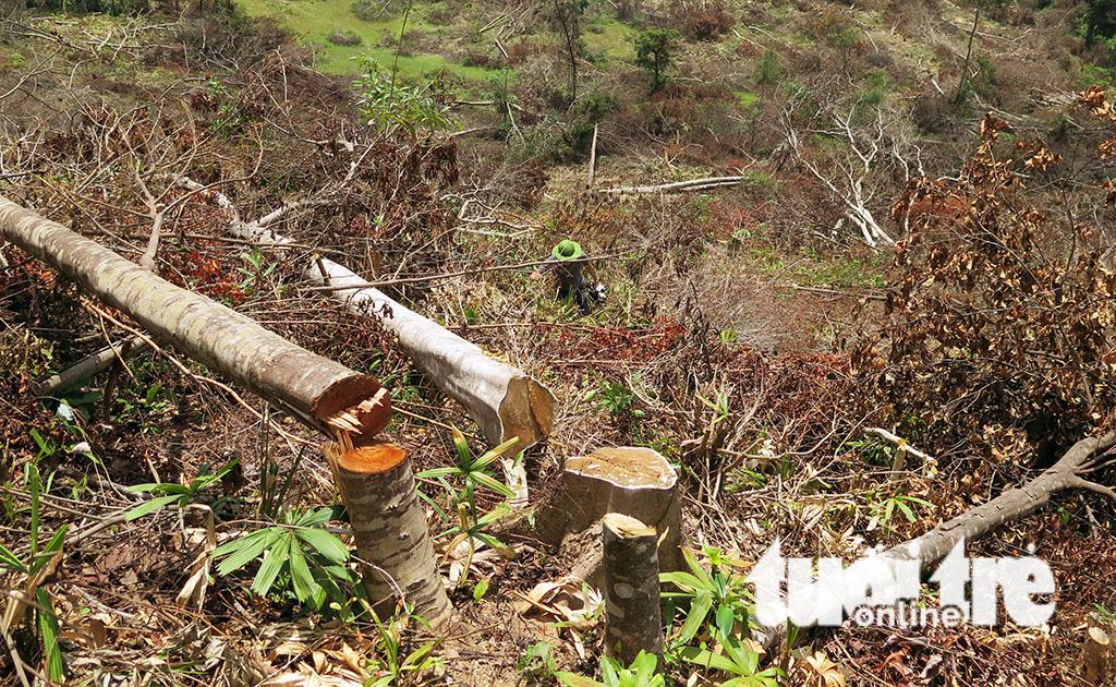 Cận cảnh 44ha rừng bị xóa sổ ở Bình Định - Ảnh 1.