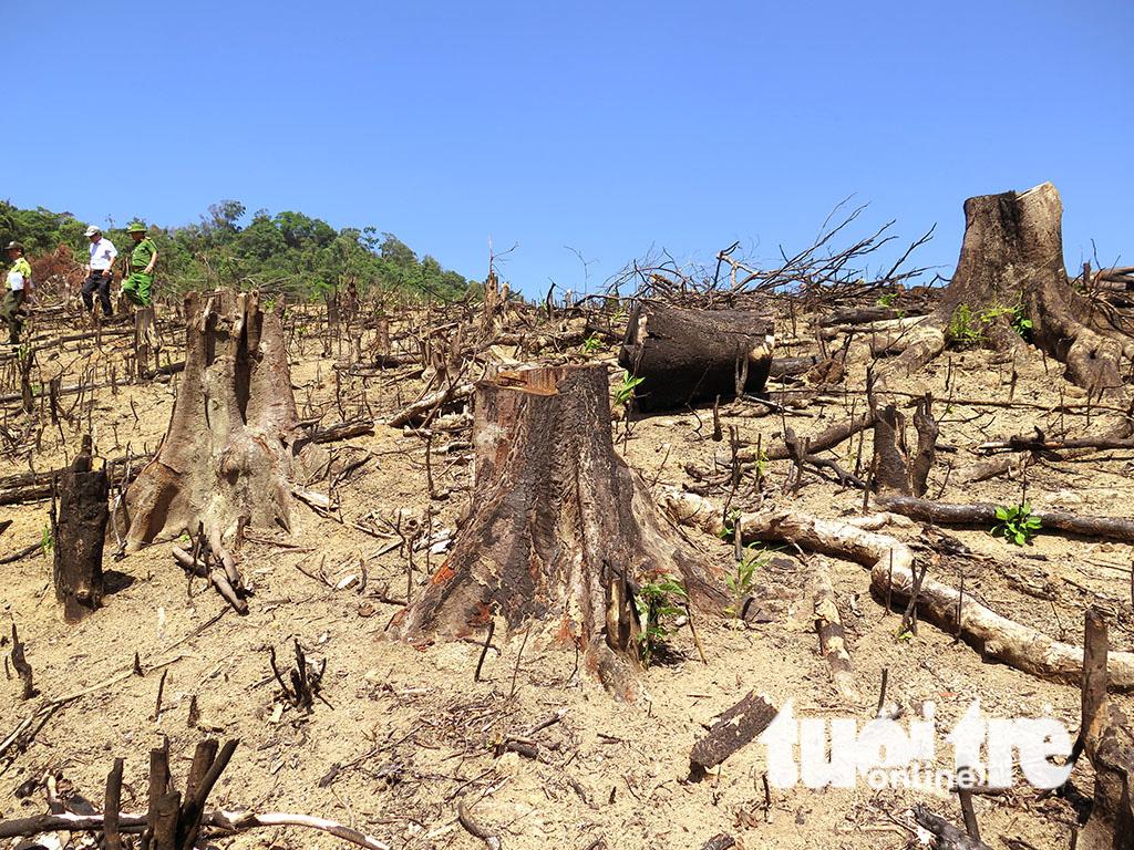 Cận cảnh 44ha rừng bị xóa sổ ở Bình Định - Ảnh 8.