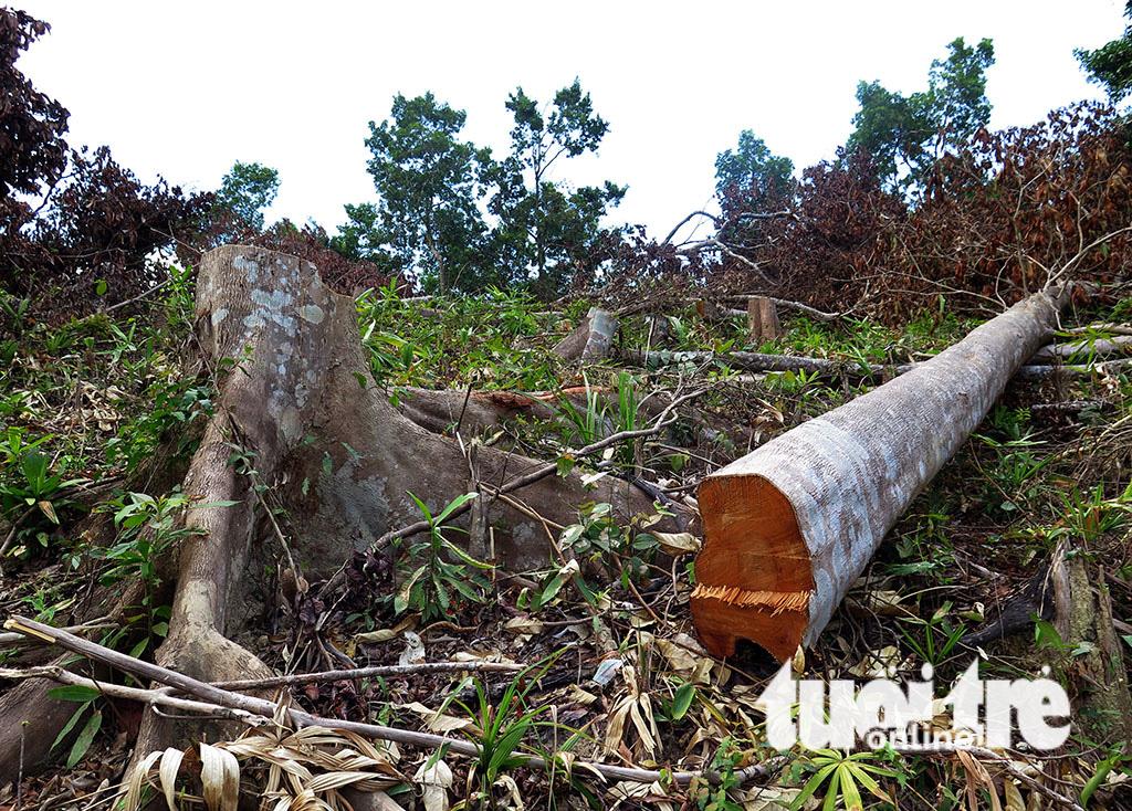 Cận cảnh 44ha rừng bị xóa sổ ở Bình Định - Ảnh 12.