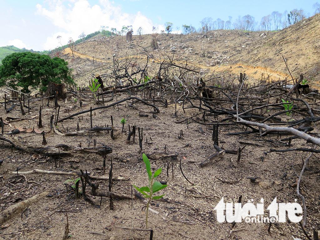 Cận cảnh 44ha rừng bị xóa sổ ở Bình Định - Ảnh 14.
