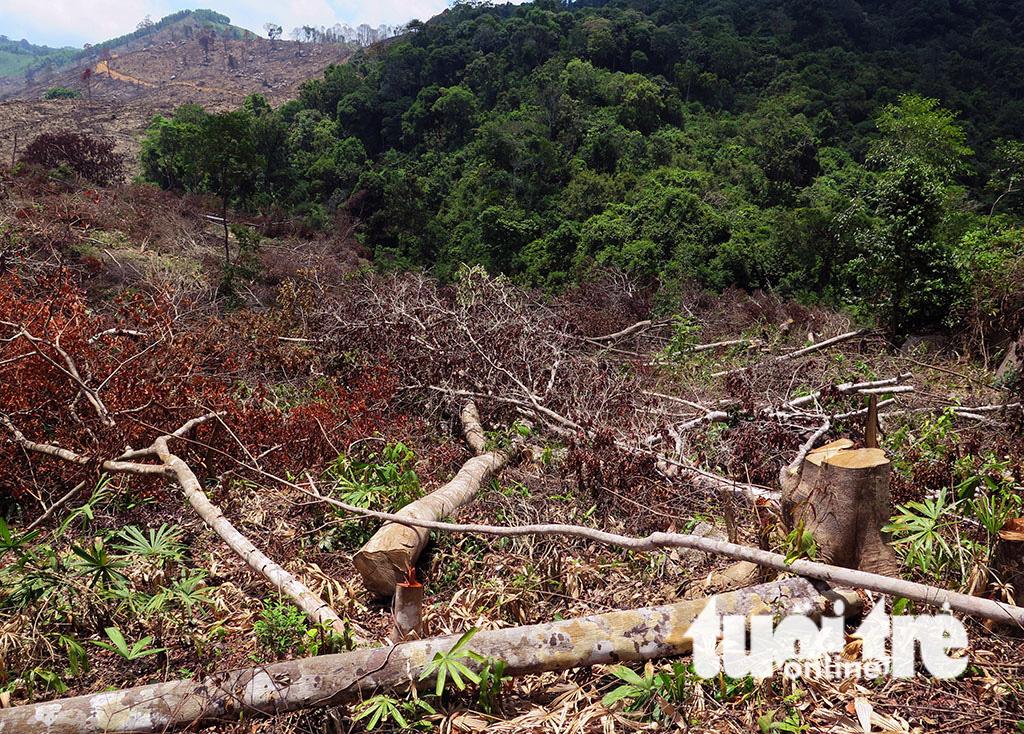 Cận cảnh 44ha rừng bị xóa sổ ở Bình Định - Ảnh 3.