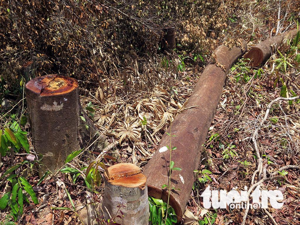 Cận cảnh 44ha rừng bị xóa sổ ở Bình Định - Ảnh 5.