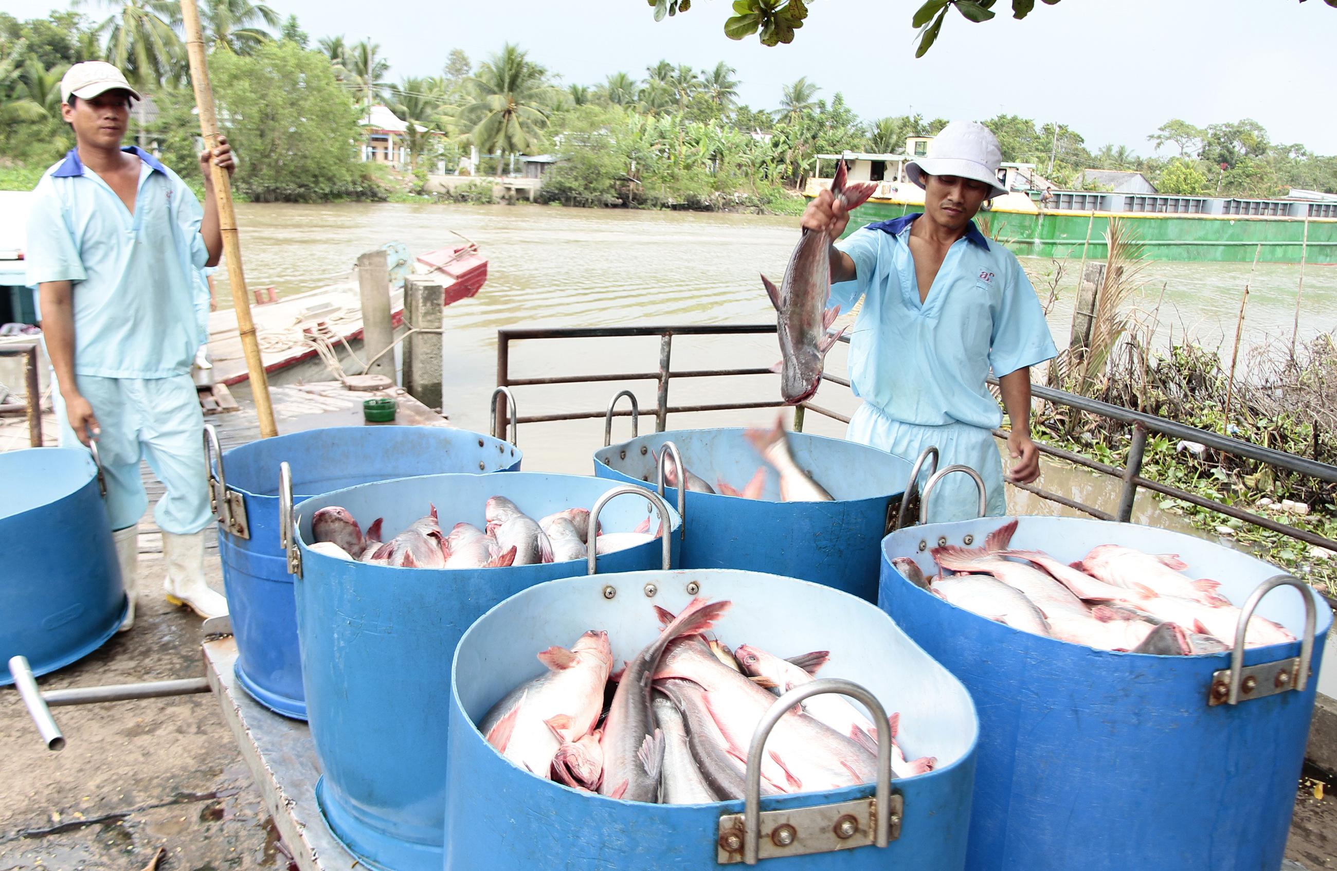 Tăng thuế đột biến, cá tra nguy cơ mất thị trường Mỹ - Ảnh 1.