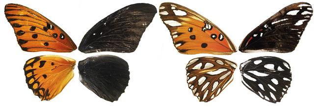 Phát hiện gien kiểm soát màu sắc, hoa văn trên cánh bướm - Ảnh 1.