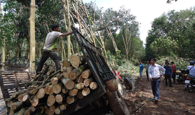 Đóng cửa rừng, giá gỗ cao su tăng kỷ lục - Ảnh 1.