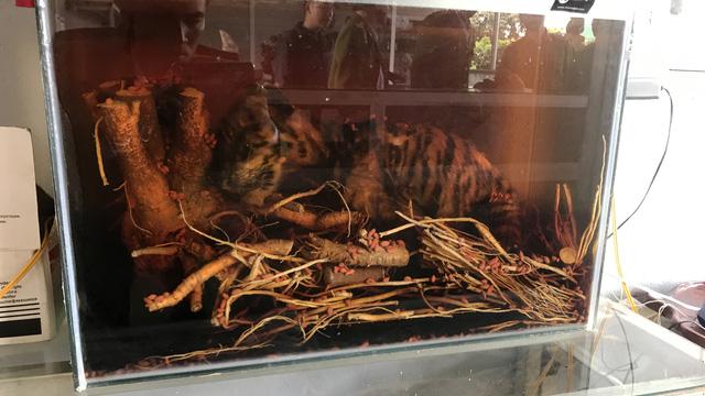 Phát hiện trong bể rượu ngâm một xác cọp con - Ảnh 2.