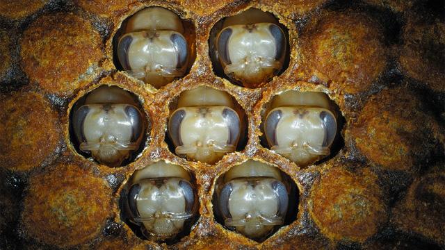 Tìm ra bí mật khiến ong mật thành ong chúa - Ảnh 1.