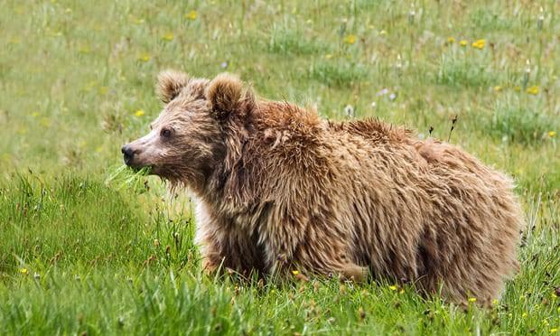 Người tuyết, người rừng chỉ là... gấu lớn - Ảnh 1.