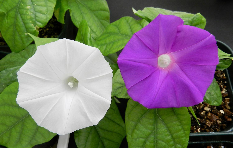 Lần đầu tiên dùng công nghệ chỉnh sửa gene để đổi màu hoa - Ảnh 1.