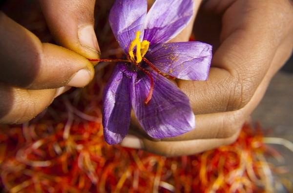 Nhụy hoa nghệ tây - hy vọng cho bệnh nhân Alzheimer - Ảnh 1.
