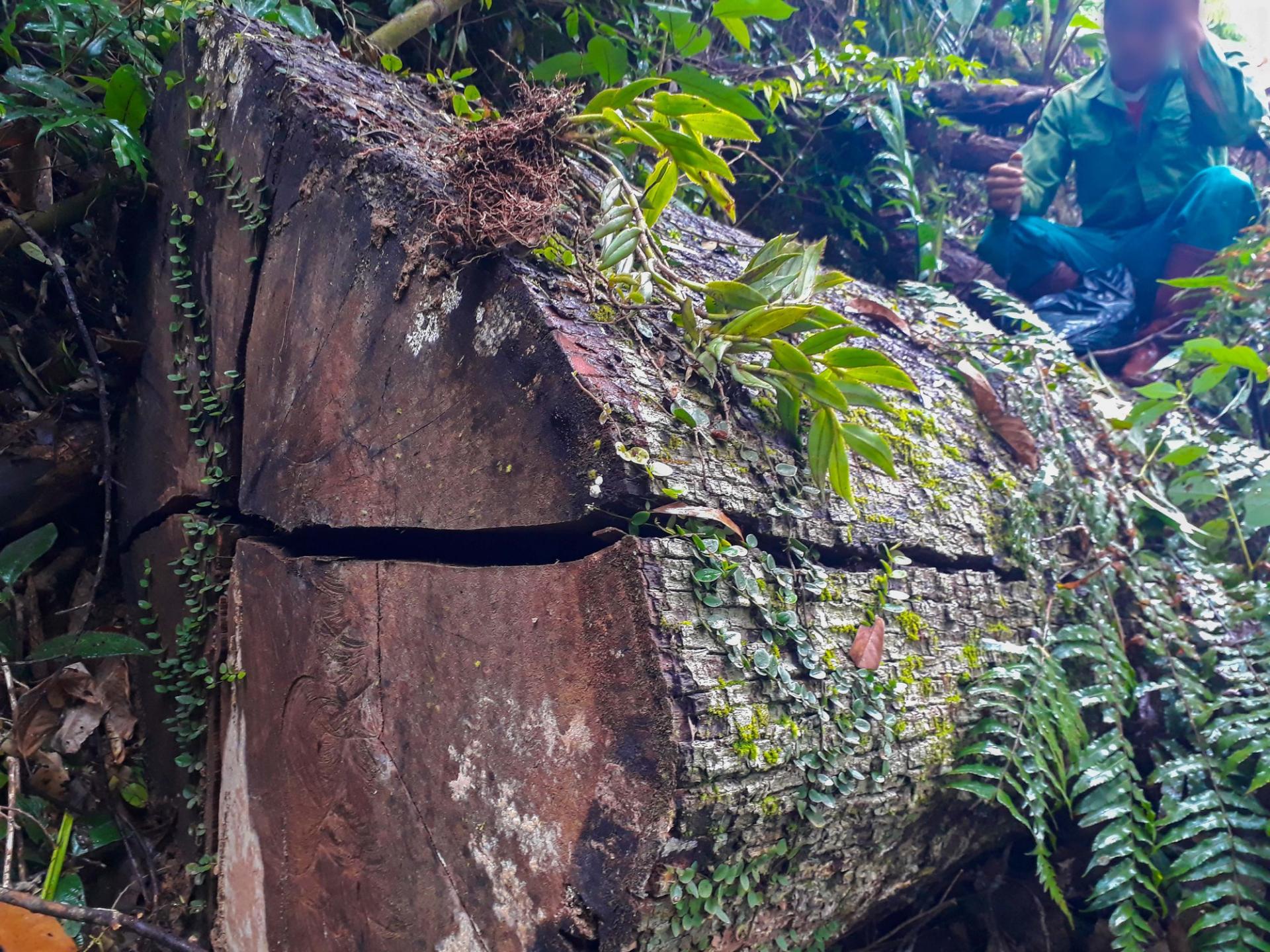 Tan nát rừng đầu nguồn: Cận cảnh rừng phòng hộ bị phá - Ảnh 3.