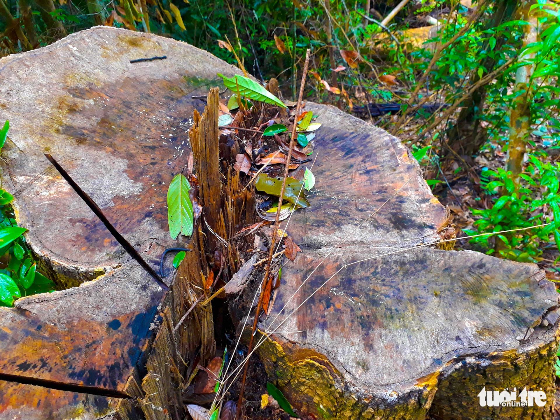 Tan nát rừng đầu nguồn: Cận cảnh rừng phòng hộ bị phá - Ảnh 6.