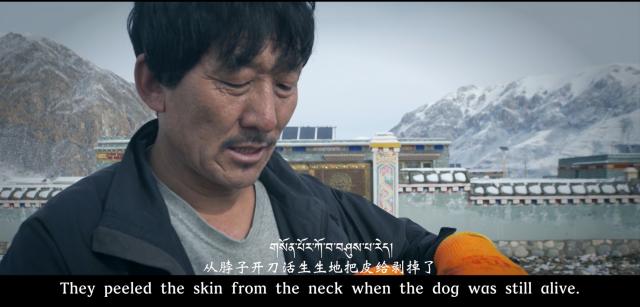 Kinh hoàng với bầy chó ngao Tây Tạng thả rông ở Trung Quốc - Ảnh 6.