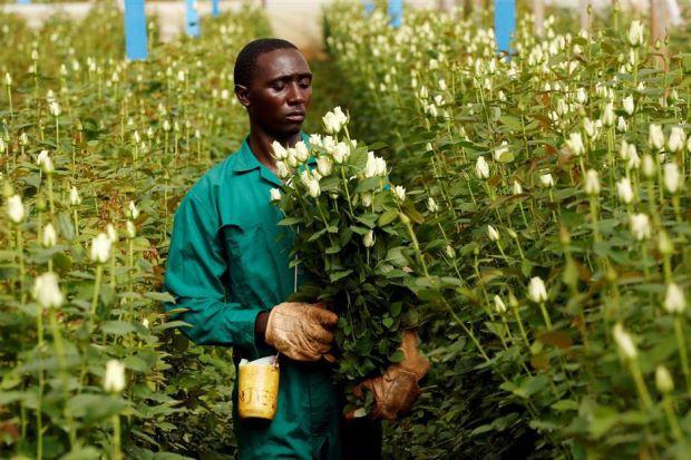Nông dân Kenya dùng điện thoại kiểm tra hạt giống giả - Ảnh 1.
