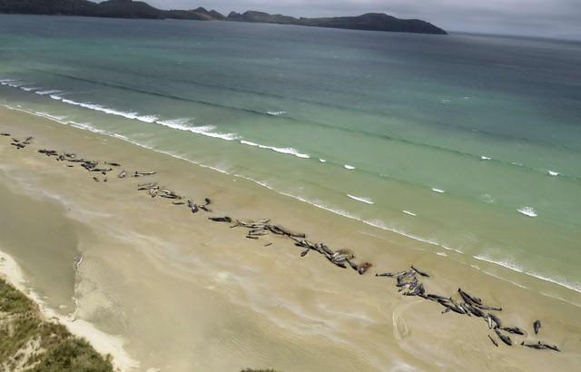 Bất thường 145 con cá voi lao lên bờ nằm chết - Ảnh 1.