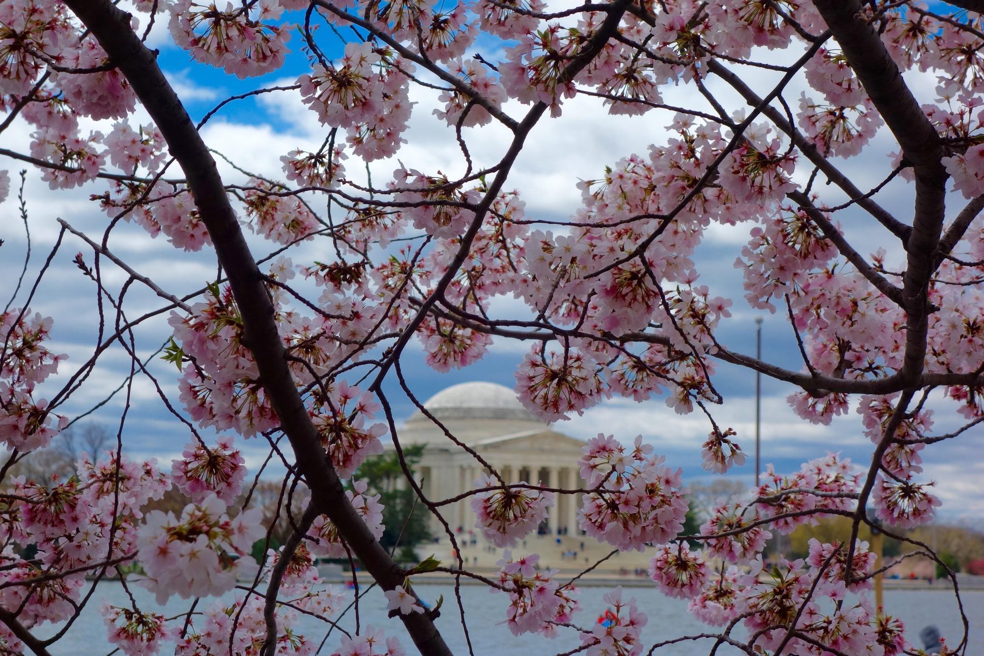 cherry blossom festival - 1024×683