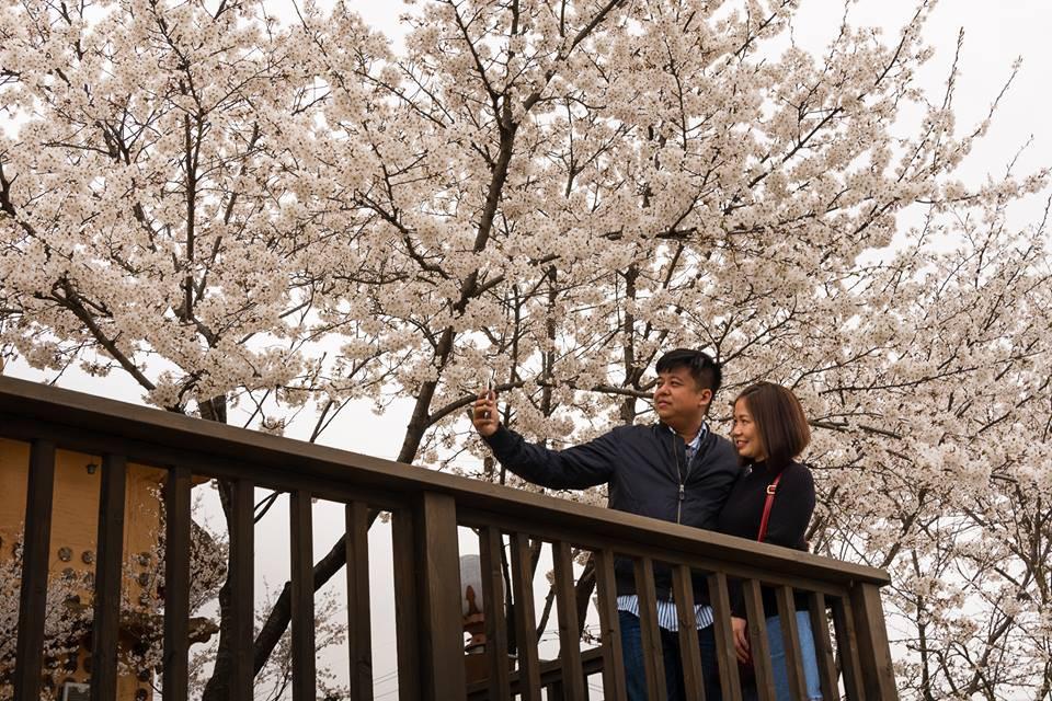 Seoul bừng sáng với hoa anh đào - Ảnh 3.