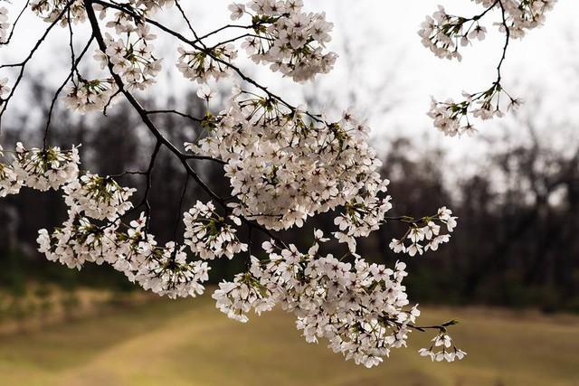 Seoul bừng sáng với hoa anh đào - Ảnh 4.