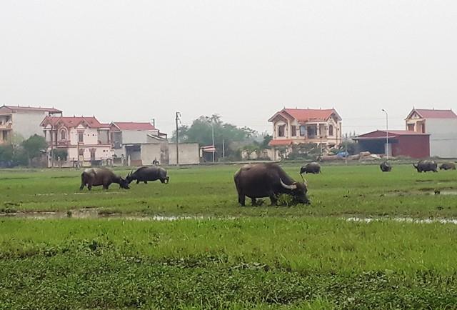 Nông dân thả bò ra đồng gặm cỏ phải đóng thuế - Ảnh 2.