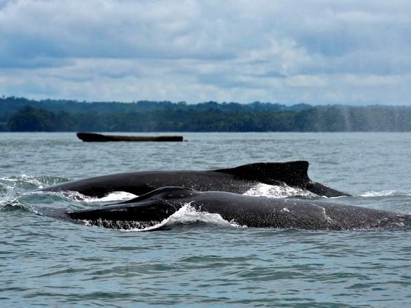 Colombia bắt đầu mùa du lịch độc đáo ngắm cá voi lưng gù - Ảnh 1.