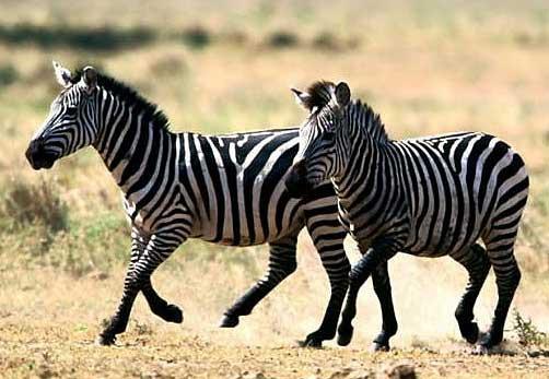 Tại sao ngựa vằn lại có sọc trắng đen? - Ảnh 1.