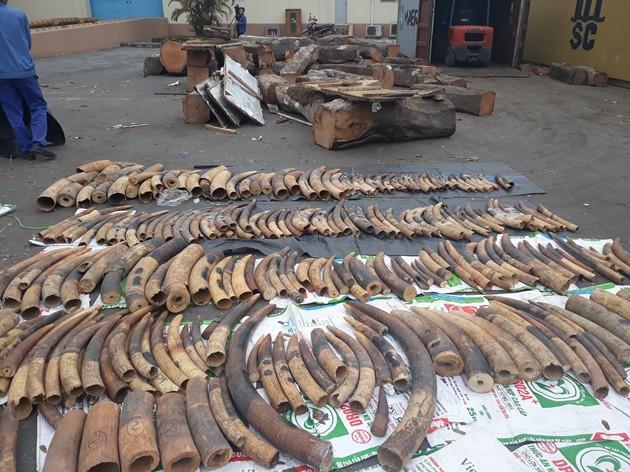 Phát hiện hàng tấn ngà voi, vảy tê tê núp bóng gỗ gõ - Ảnh 1.