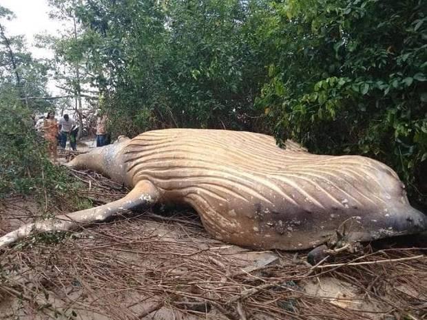 Cá voi 10 tấn lại chết trong... rừng Amazon - Ảnh 1.