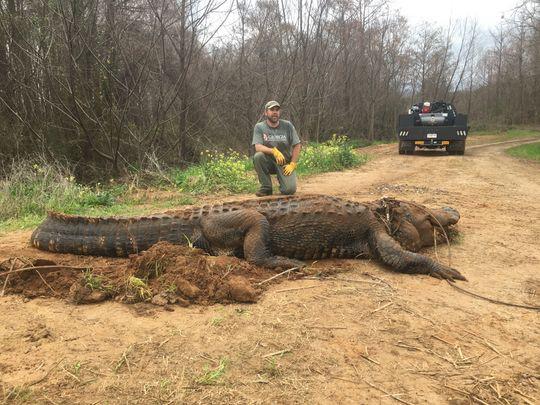 Phát hiện cá sấu hơn 300kg dưới... mương thủy lợi - Ảnh 1.