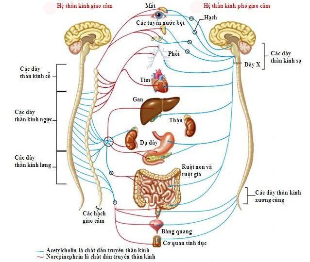 Rối loạn thần kinh thực vật - Ảnh 1.
