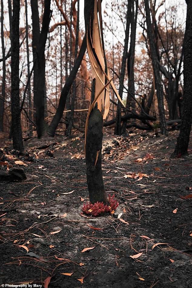 Giữa thảm họa cháy rừng Úc, những chồi non nhỏ bé kiên cường hi vọng tái sinh - Ảnh 2.
