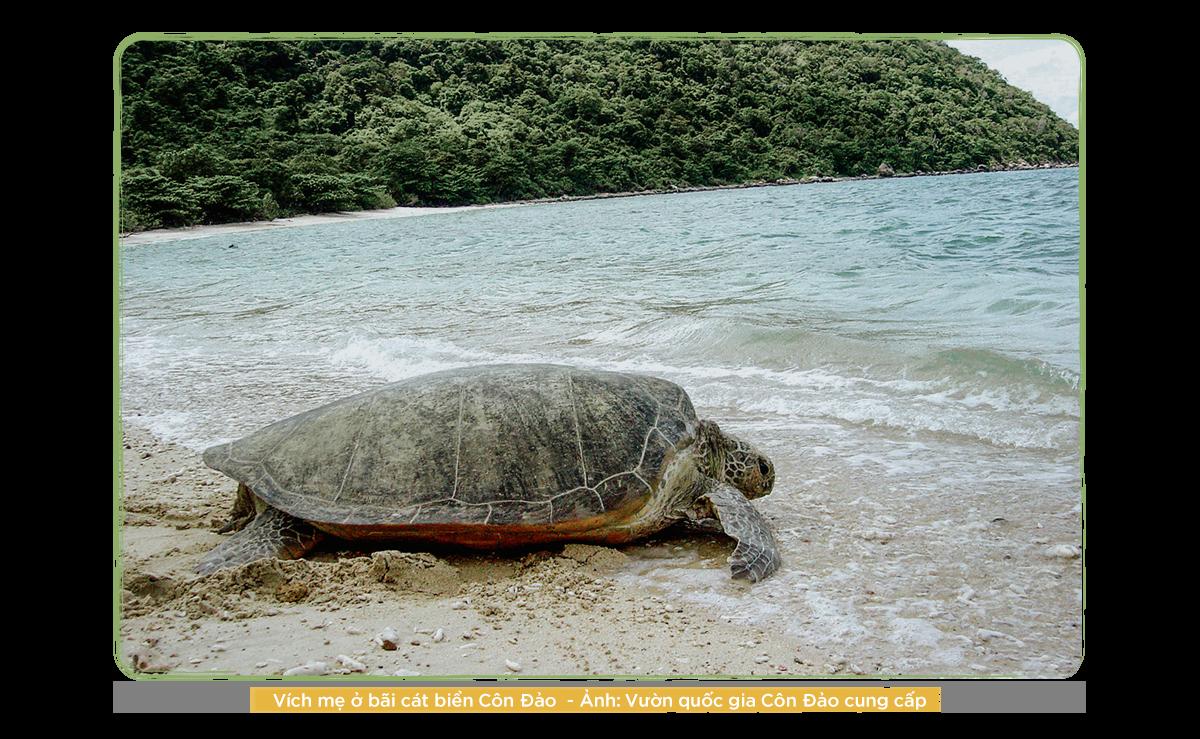 Kỳ 2: Những người bảo vệ rùa biển ở Côn Đảo - Ảnh 3.