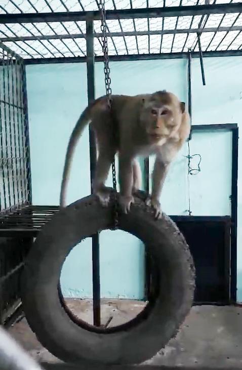 6 con khỉ đại náo nhà dân ở quận 12 đã có chỗ ở, 4 con kia biến đâu? - Ảnh 2.