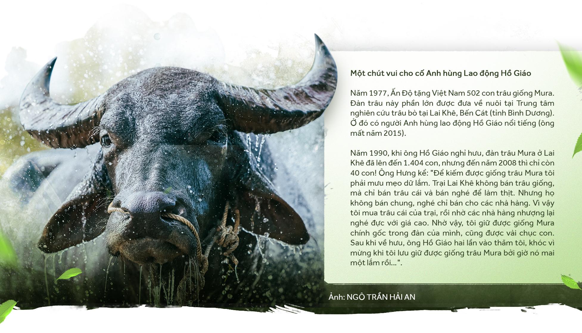 Gặp vua trâu nghe kể chuyện trâu vua - Ảnh 11.