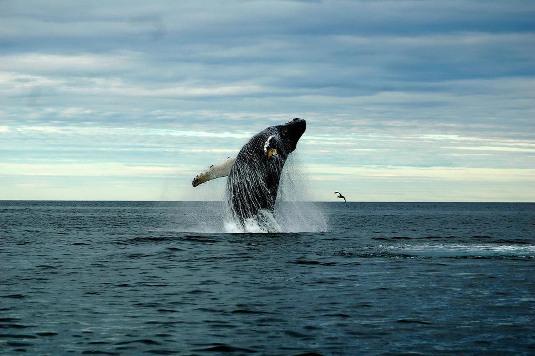 Biến đổi khí hậu, số lượng cá voi giảm nghiêm trọng - Ảnh 1.