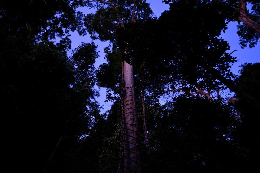 Săn mật ong trên những ngọn cây chọc trời ở Malaysia - Ảnh 9.