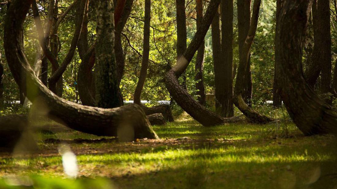 Ngắm rừng cong Ba Lan, rừng ma Romania, rừng tre Nhật - Ảnh 1.