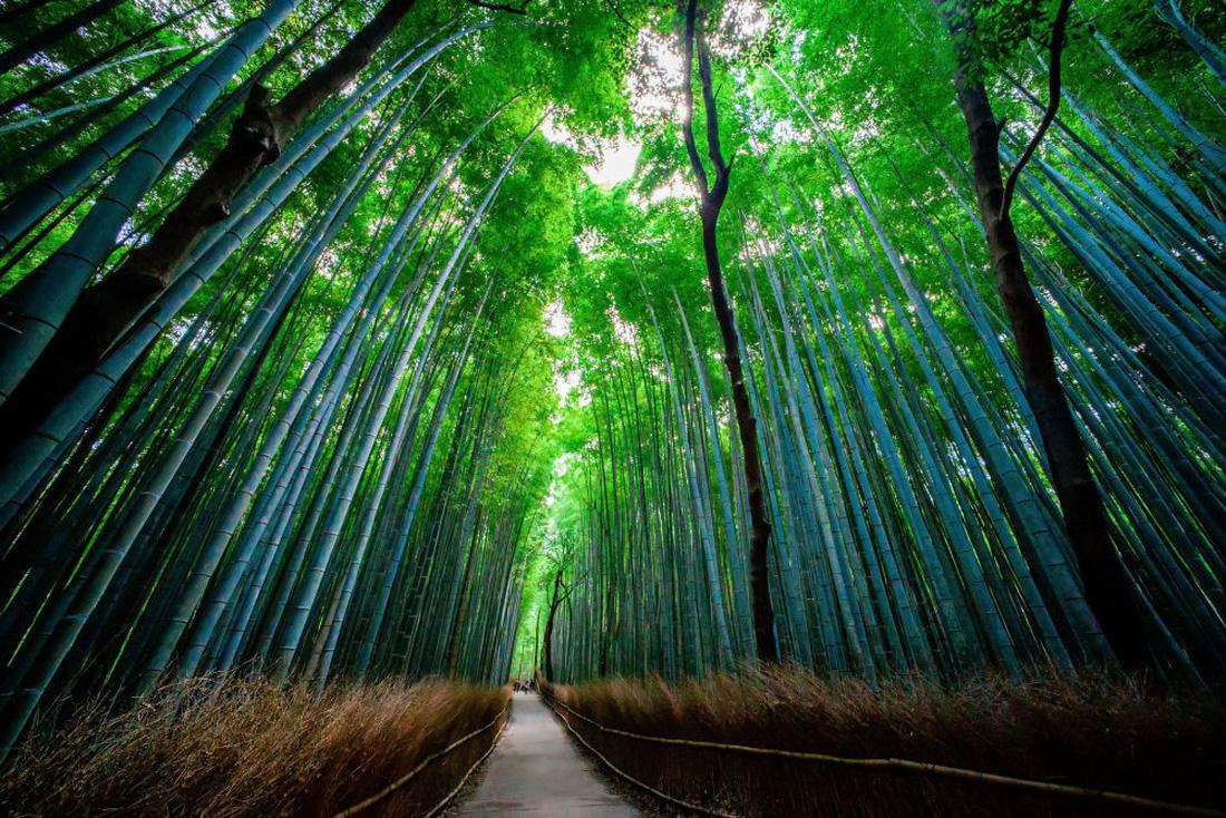 Ngắm rừng cong Ba Lan, rừng ma Romania, rừng tre Nhật - Ảnh 2.