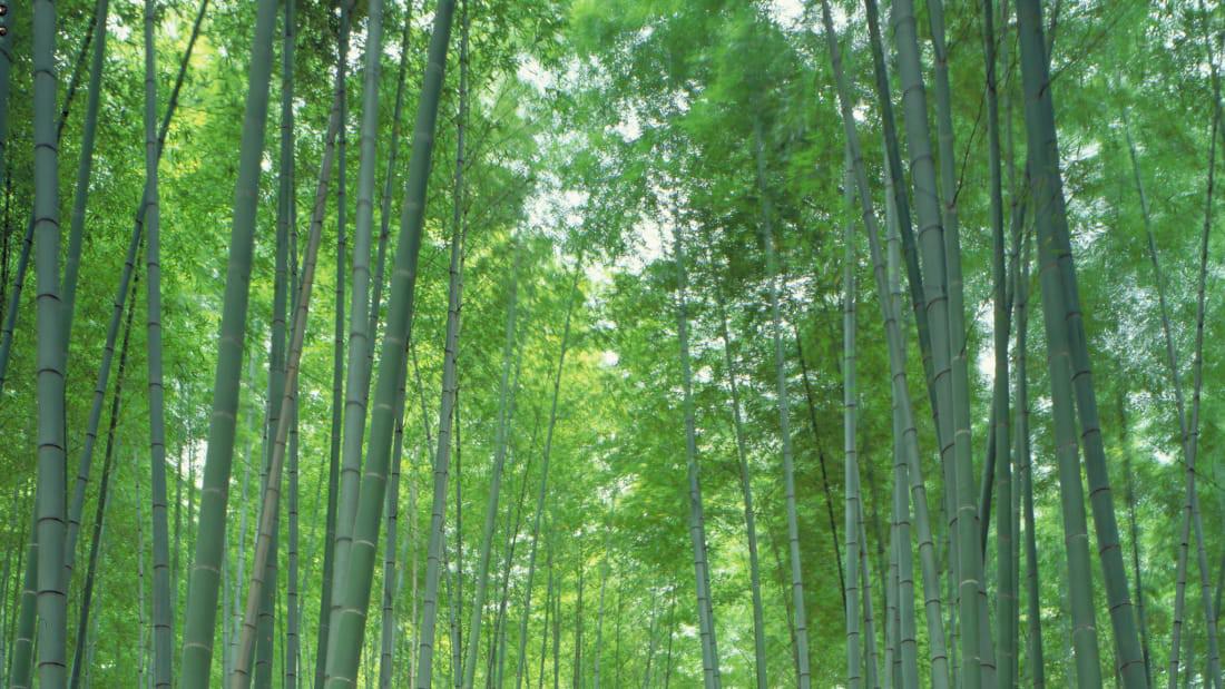 Ngắm rừng cong Ba Lan, rừng ma Romania, rừng tre Nhật - Ảnh 3.
