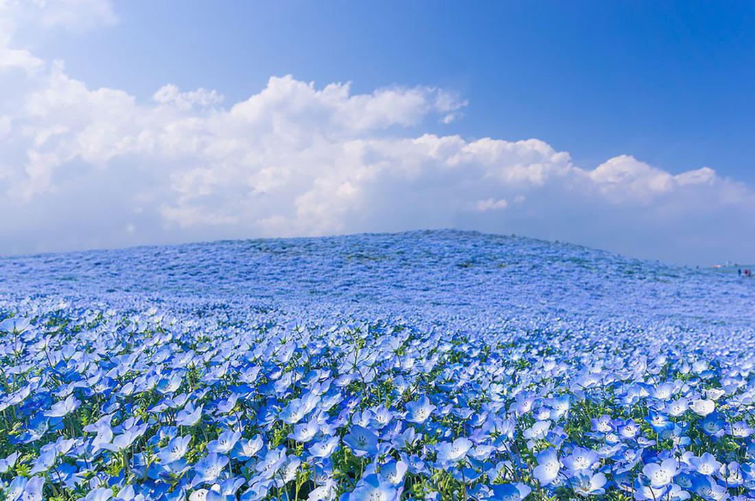 Mê mẩn với biển hoa mắt xanh ở Nhật, mao lương ở Mỹ - Ảnh 8.