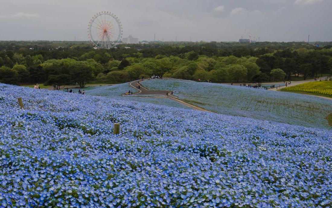 Mê mẩn với biển hoa mắt xanh ở Nhật, mao lương ở Mỹ - Ảnh 6.