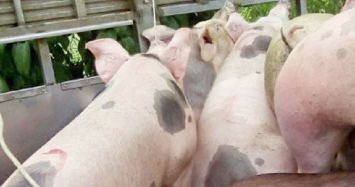 Phát hiện đạm giả nguy cơ gây bệnh thận trong thức ăn chăn nuôi