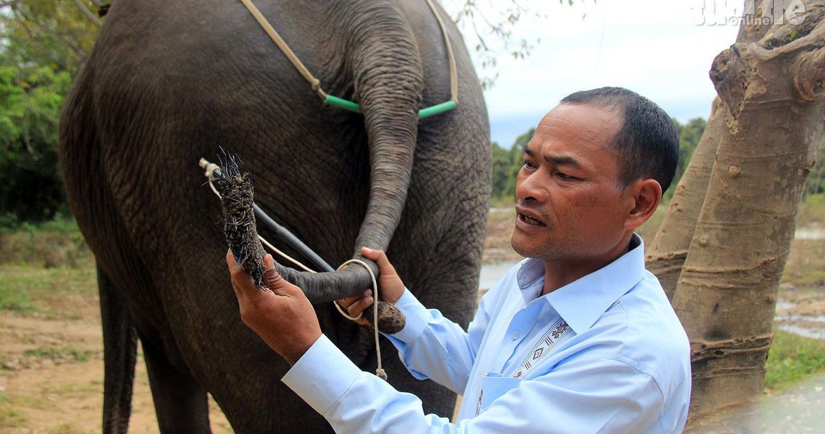 Xót xa những chú voi bị nhổ trụi lông đuôi để bán
