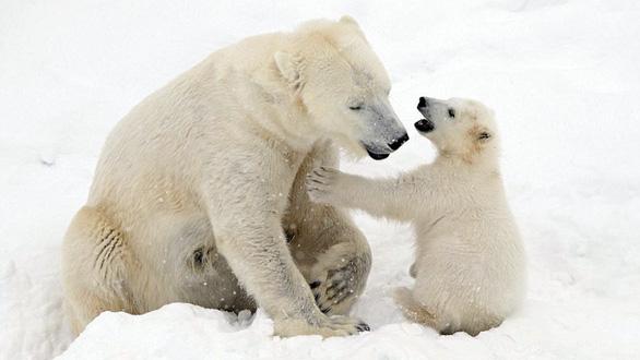 Ảnh mẹ con gấu Bắc cực sưởi ấm trái tim - Ảnh 1.