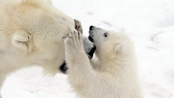 Ảnh mẹ con gấu Bắc cực sưởi ấm trái tim - Ảnh 6.