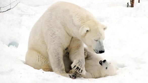 Ảnh mẹ con gấu Bắc cực sưởi ấm trái tim - Ảnh 7.