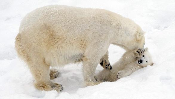 Ảnh mẹ con gấu Bắc cực sưởi ấm trái tim - Ảnh 2.
