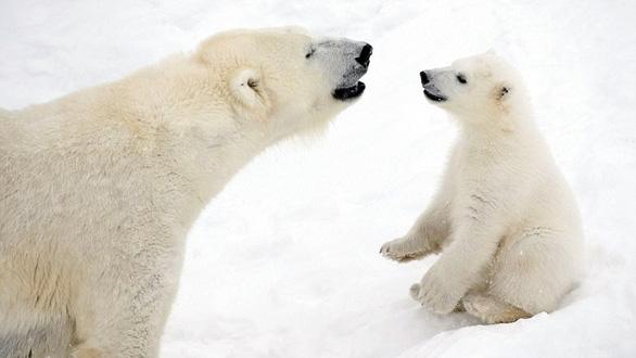 Ảnh mẹ con gấu Bắc cực sưởi ấm trái tim - Ảnh 3.