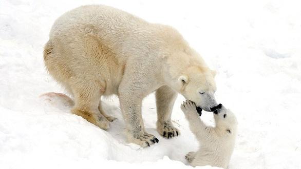 Ảnh mẹ con gấu Bắc cực sưởi ấm trái tim - Ảnh 4.