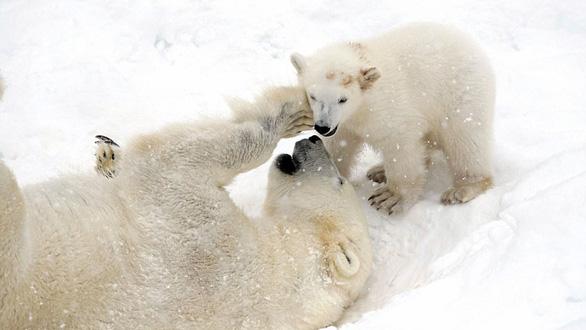 Ảnh mẹ con gấu Bắc cực sưởi ấm trái tim - Ảnh 5.